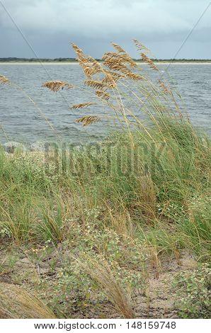 Sea oats on the dunes of a Florida seashore