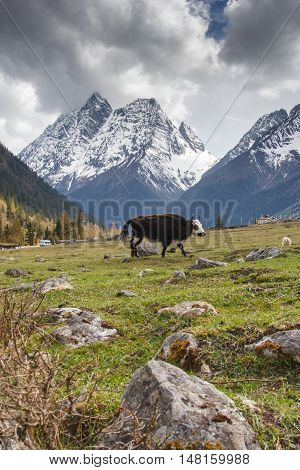 The yaks in the Four Maiden's Mountain (Mt. Siguniangshan) Scenic Area is an unspoiled wilderness park located in western china and Qiang Autonomous Prefecture Sichuan Province China