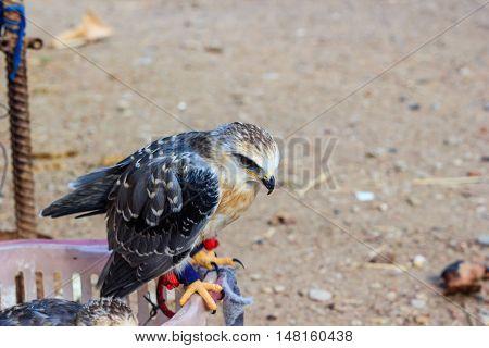 A close up of young falcon bird