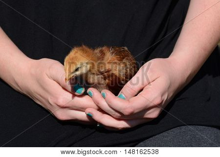 Hands gently holding and protecting baby mixed breed chicken in lap