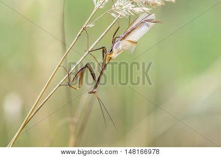 Brown Variant Of A Mantis Religiosa - Common Name Praying Mantis