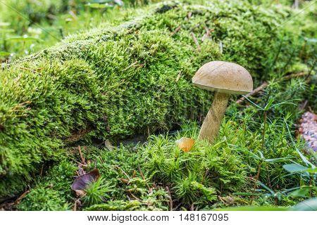 Bitter Bolete Or Bitter Tylopilus (tylopilus Felleus) In Green