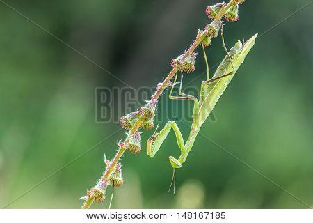 Green Mantis Religiosa - Common Name Praying Mantis