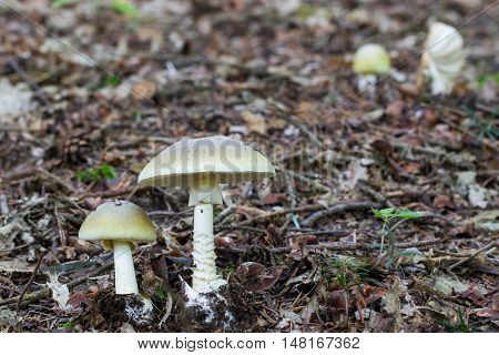 Two Deadly Poisonous Fungus Amanita Phalloides Commonly Known As The Death Cap