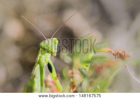 Detail Of A Head Of Mantis Religiosa - Common Name Praying Mantis