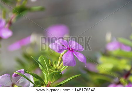 Purple Catharanthus roseus flowers. Pink Wildflower with nature background.