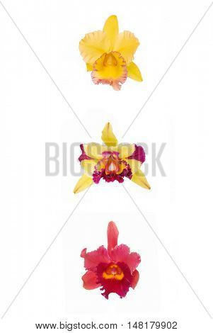 Blossoming three Orchids