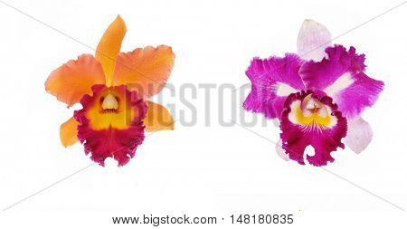 Two cattleya orchid