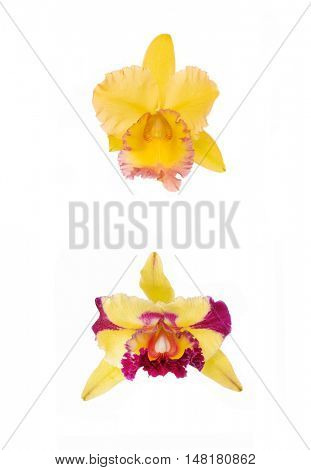 two cattleya Orchids