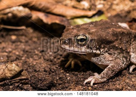 Side portrait of common Indian toad well camouflaged within its environment