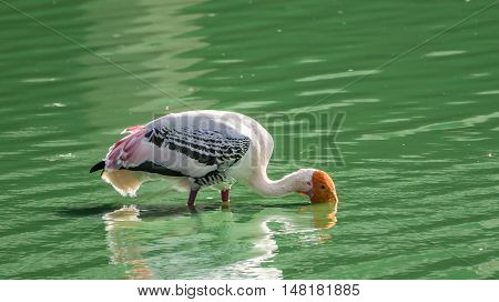 Beautiful yellow bill stork fishing with its head almost submerged in green murky water.