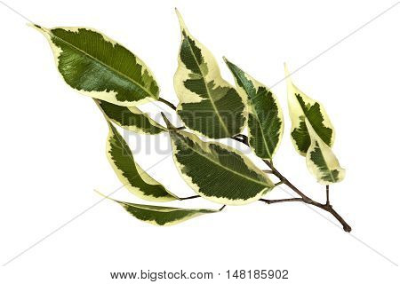 Studio Shot Of Isolated Variegated Bougainvillea Leaves