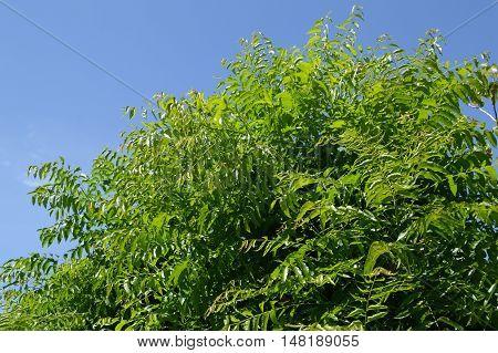 fresh green Neem plan tree in garden , Azadirachta indica