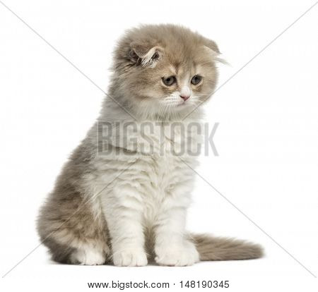 Front view of a Young Highland Fold kitten sitting and looking down isolated on white