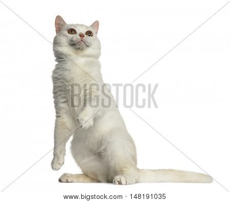 Side view of a British Shorthair cat sitting and playing isolated on white