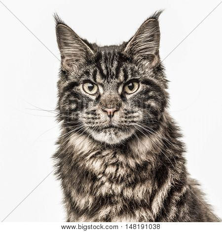 Close-up of a Maine Coon cat looking at the camera isolated on white