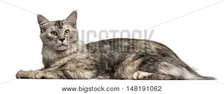 Side view of a Maine Coon cat lying down and looking up isolated on white