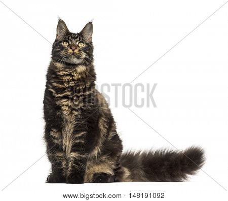 ront view of a Maine Coon cat sitting and looking up isolated on white