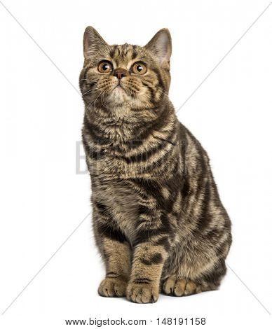 Front view of a British Shorthair cat sitting and looking up isolated on white