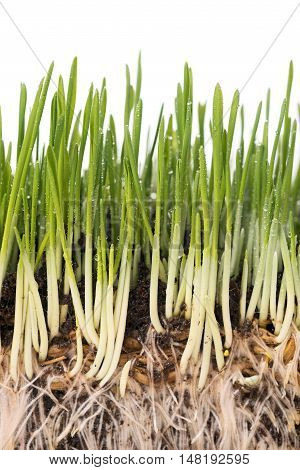 Bright juicy green grass with roots in the organic soil isolated over white background