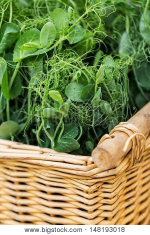 gardening, farming and agriculture concept - close up of green pea or bean seedling in wicker basket