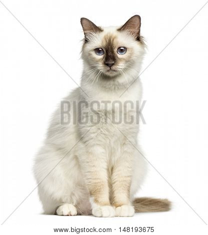 Front view of a Birman cat sitting isolated on white