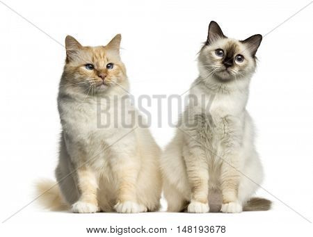 Two Birman cats sitting isolated on white