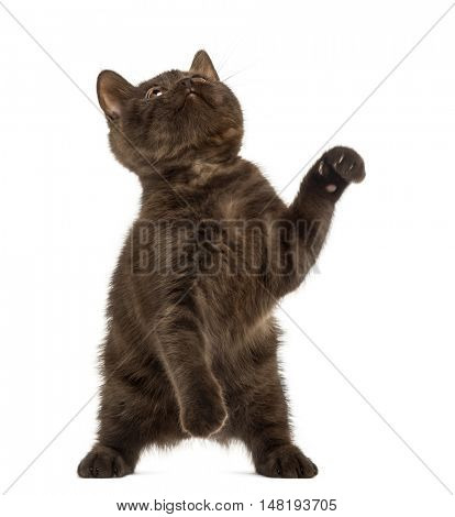 Front view of a Young British Shorthair kitten playing on hind legs and looking up isolated on white