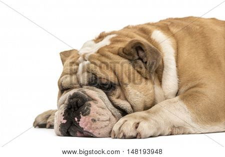 Side view of an English bulldog sleeping and lying down isolated on white