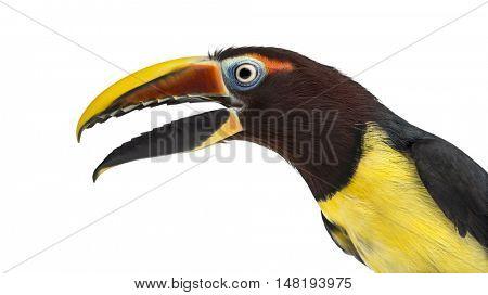 Close-up of a Green aracari opening his beak, Pterogossus Viridis isolated on white