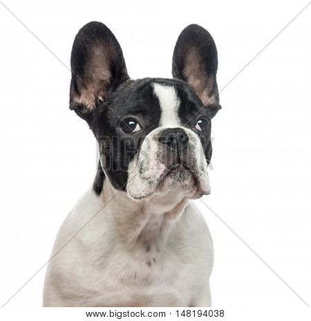Close-up of French Bulldog puppy, 4 months old, looking at camera, isolated on white