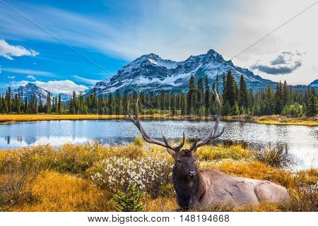 Magnificent red deer with branched antlers resting in the grass.  Beautiful nature of the Rocky Mountains of Canada
