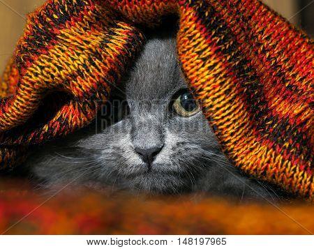 Cute kitten hiding under a knitted blanket. Funny gray cat