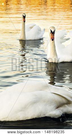 Swans at the river Danube Looking Towards Camera