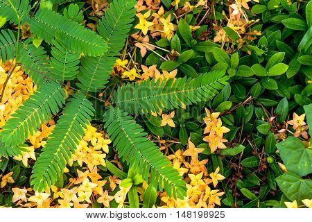 This is Ixora and green leaf in the garden