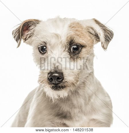 Close-up of Jack Russell Terrier, 2 years old, looking at camera, isolated on white