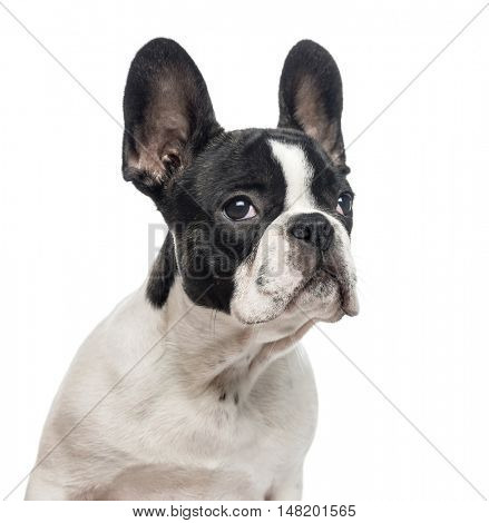 Close-up of French Bulldog puppy, 4 months old, looking away from camera, isolated on white