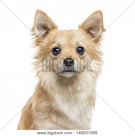 Close-up of Chihuahua, 11 months old, looking at camera, isolated on white