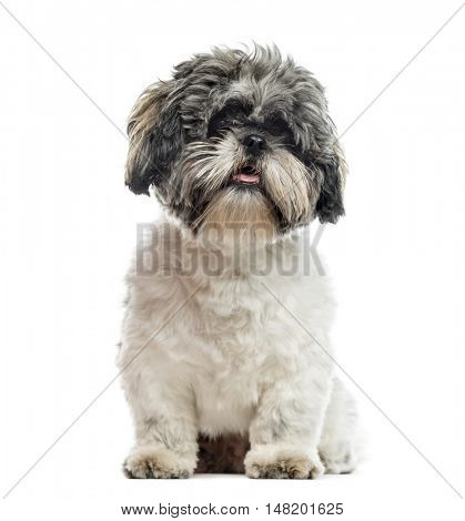 Shih Tzu, 1 year old, sitting, isolated on white