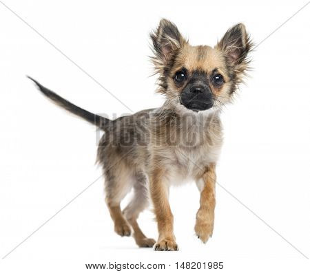 Chihuahua puppy, 4 months old, walking towards camera, isolated on white