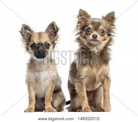 Two Chihuahua puppies, 4 and 6 months old, sitting together and looking at camera, isolated on white