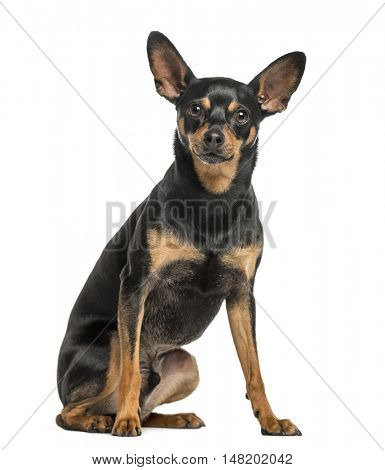 German Pinscher, 2 years old, sitting and looking at camera, isolated on white
