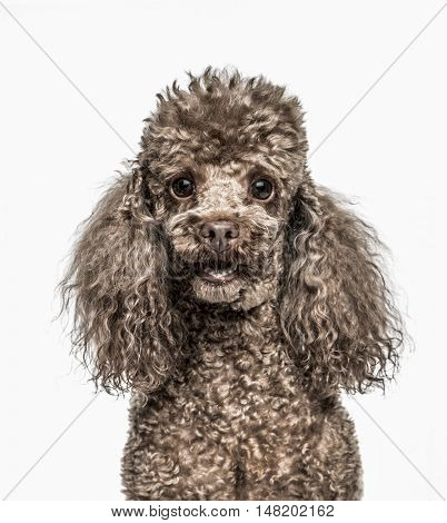 Close-up of Poodle, 6 years old, looking at camera with mouth open, isolated on white