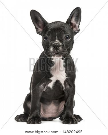 French Bulldog puppy, 10 weeks old, sitting down facing camera, isolated on white