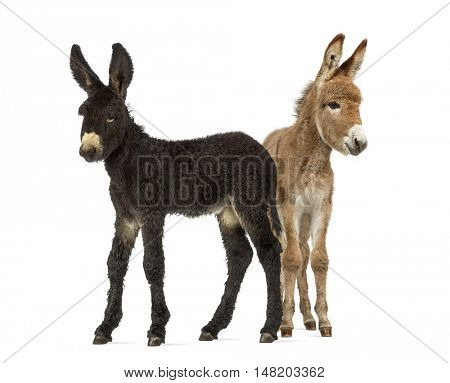 Two young foal donkeys, baudet du poitoux facing isolated on white