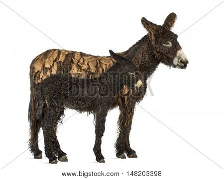 Side view of a mother donkey and her foal, baudet du poitoux isolated on white