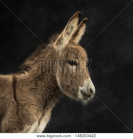 close up of a young provence donkey, foal against black background
