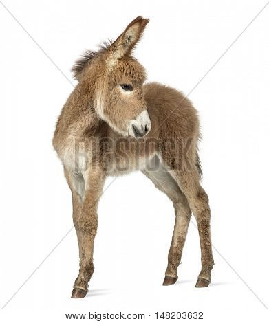 Side view of a young Provence donkey looking back isolated on white