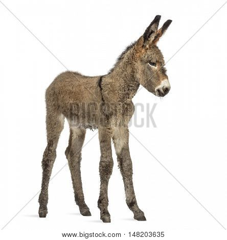 Front view of a young provence donkey, foal isolated on white