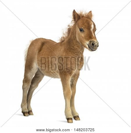Side view of a young poney, foal looking at the camera against white background